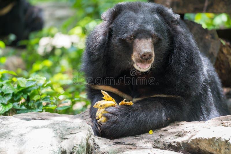 Thibetanus d'Ursus mangeant la banane image stock