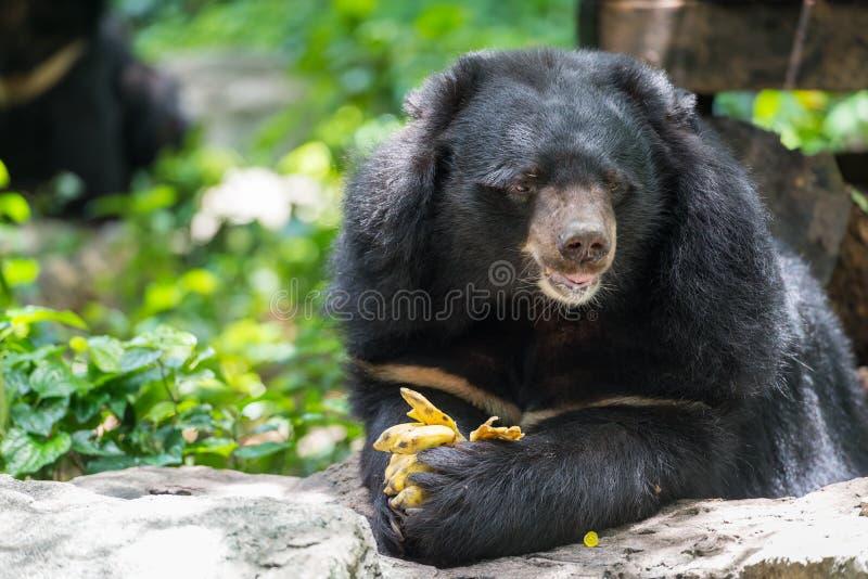 Thibetanus d'Ursus mangeant la banane images stock