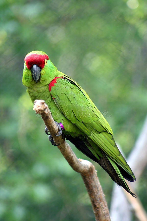 Thick-billed Parrot royalty free stock photos