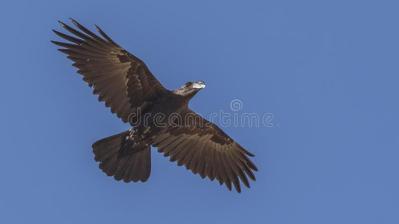 Thick-billed Raven in Flight. Thick-billed raven, Corvus crassirostris, endemic to Eritrea and Ethiopia is flying on a clear blue sky in Amara, Ethiopia, Africa royalty free stock images