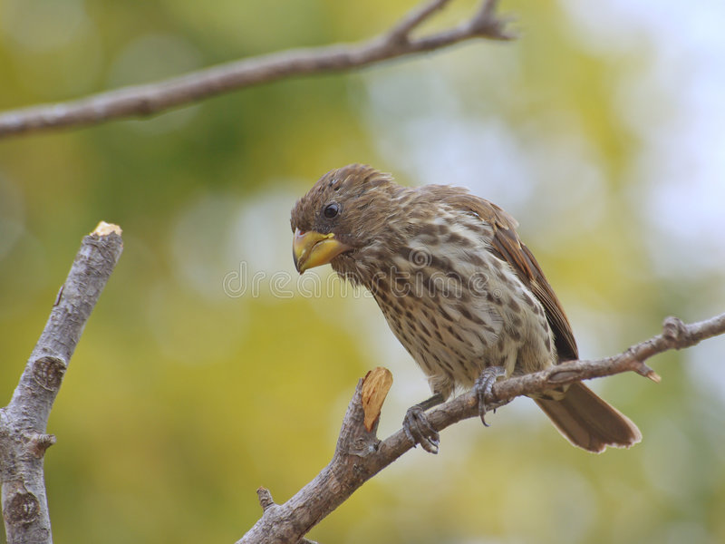 Thick Billed Weaver Royalty Free Stock Image