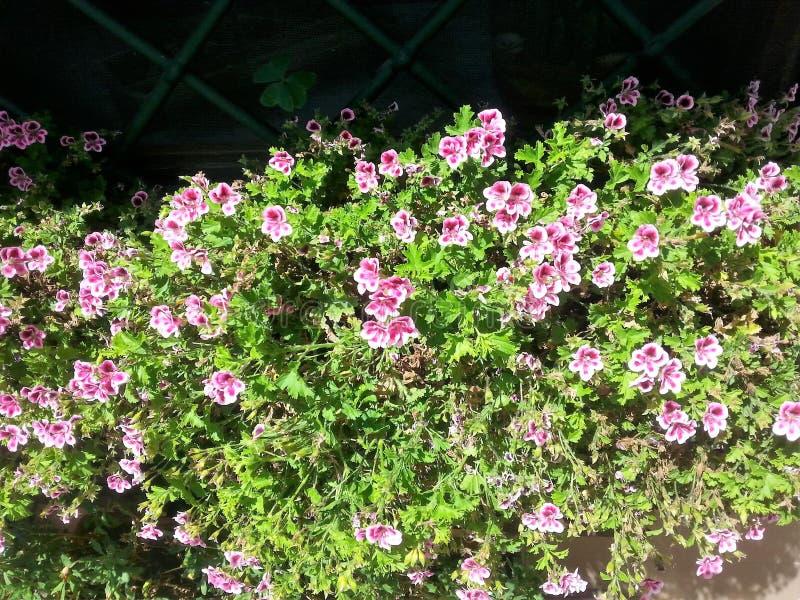 Plant of the macranta geranium royalty free stock photos