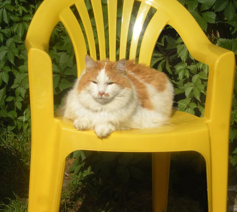 A thick castrated white-red fluffy cat lies on a yellow plastic armchair stock photos