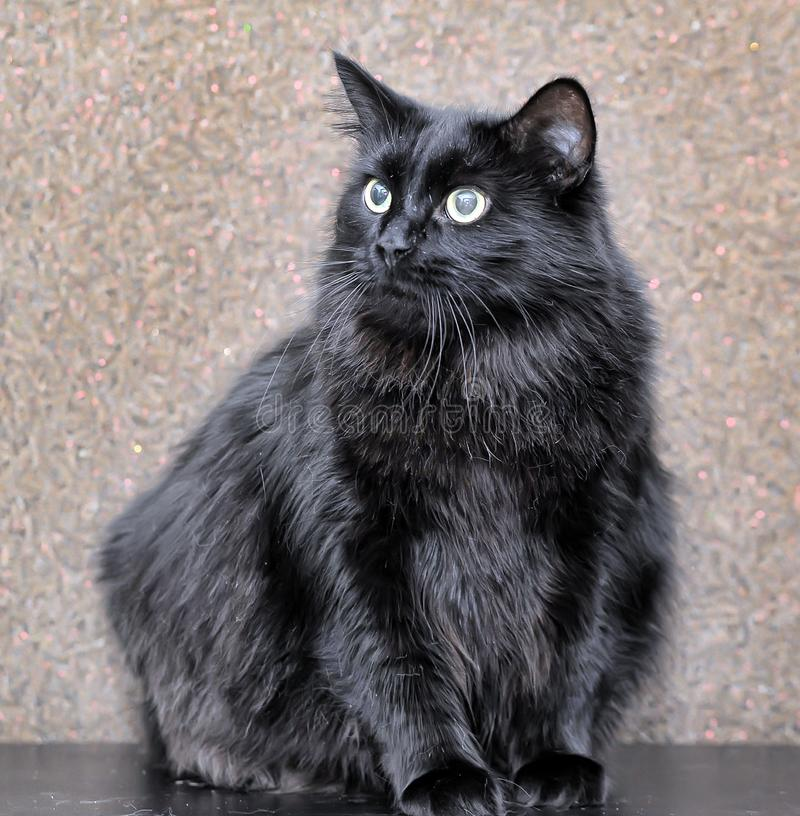 thick fluffy black cat stock photo