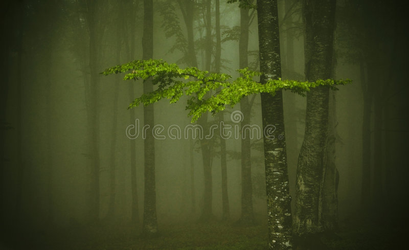 Thick fog. Beech forest in thick, damp fog, mist stock photography