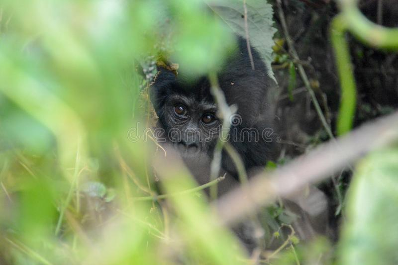 Baby mountain gorilla peaking through the foliage. The thick foliage of Bwindi Impenetrable National Park Uganda hides the very young mountain gorilla stock photography