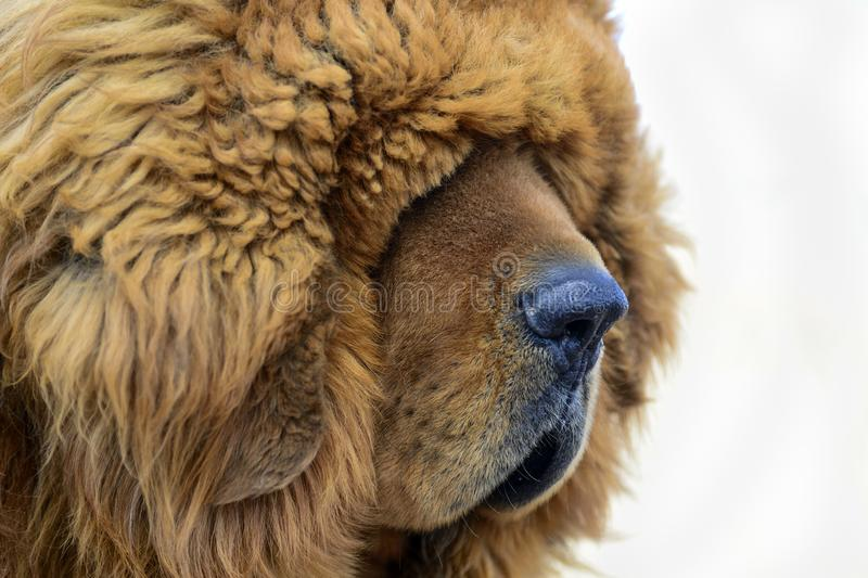 The thick furry coat of a Tibetan Mastiff lays heavily over the eyes of the guard dog. A portait of a brown Tibetan Mastiff suggests blinding fur can; be a royalty free stock photos