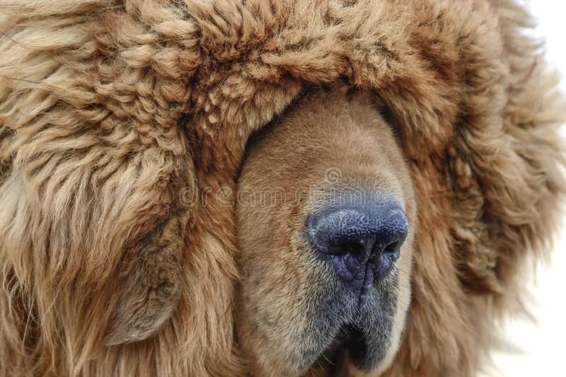 The thick, furry coat of a Tibetan Mastiff lays heavily over the eyes of the guard dog. A portait of a brown Tibetan Mastiff suggests blinding fur can  be a stock photo