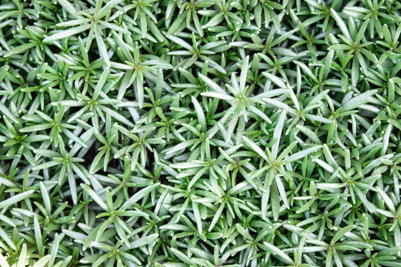 Thick green leaves of portulaca royalty free stock image
