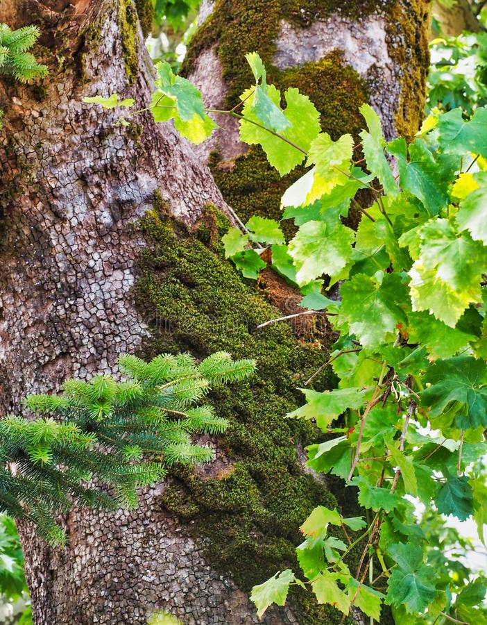 Thick Green Moss on Plane Old Tree stock photo