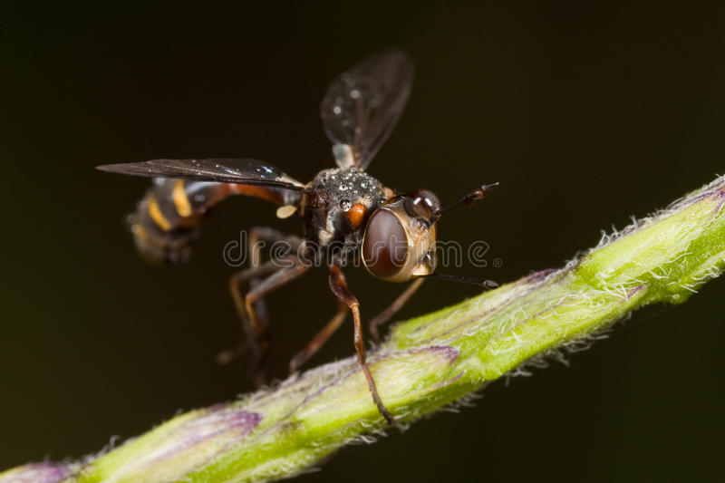 Thick headed fly/Conopid fly