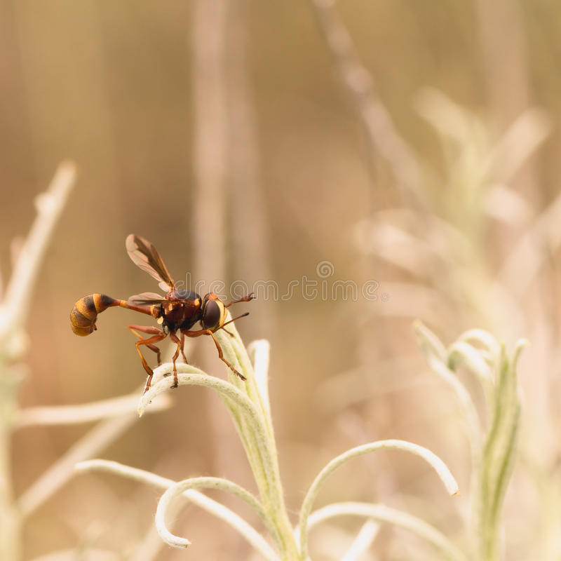 Download Thick-headed Fly Macro stock photo. Image of nature, sciomyzoidea - 72227288
