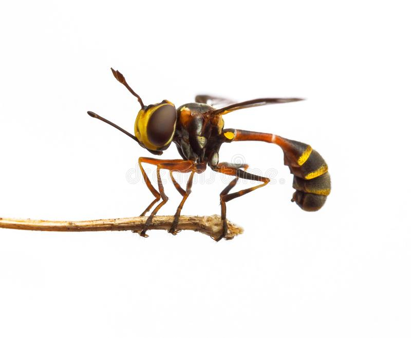 Thick headed fly. Thick headed fly & x28; Physocephala sp & x29; a wasp mimic with isolated white background stock photography
