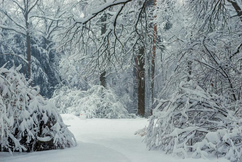 Thick mixed forest - bushes, trees and firs covered with snow, snow-covered landscape. In winter royalty free stock images