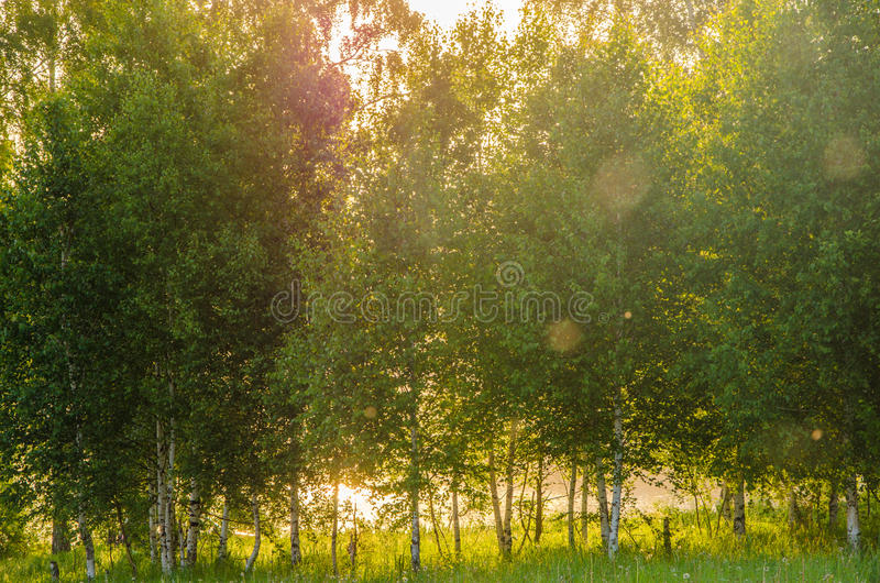 Thick morning fog in the summer forest. Thick morning fog in the forest at pond. Morning landscape in summer thick fog. dense fog in the morning. early morning royalty free stock photo