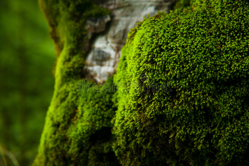 Thick moss. Old beech tree trunk covered in thick, soft moss stock photo