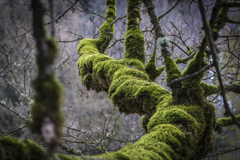 THICK MOSS ON TREE BRANCH royalty free stock photos