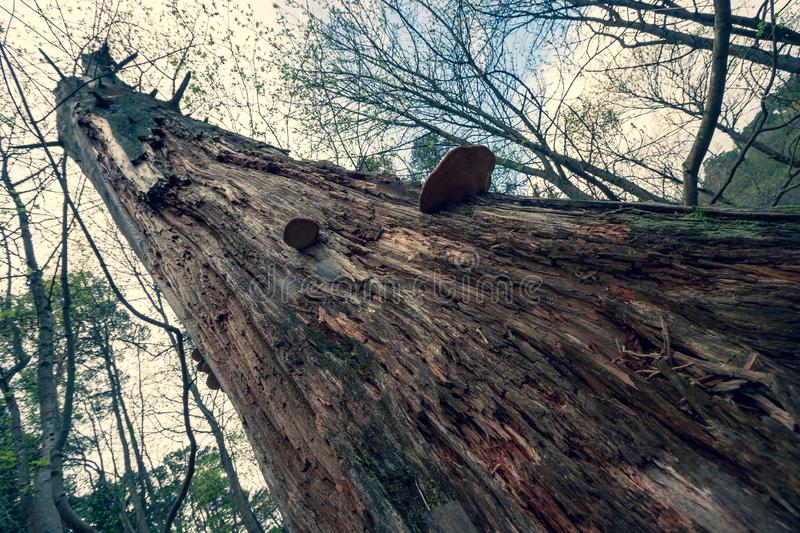A thick old dry rotten tree with tinder photographed with a perspective on the diagonal of the frame. royalty free stock photos