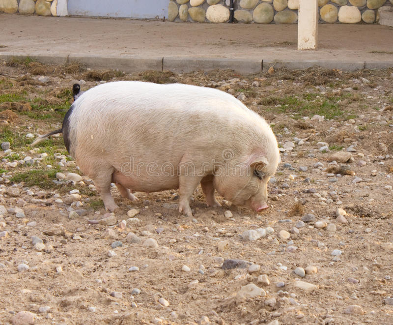 Thick Pig Royalty Free Stock Photos