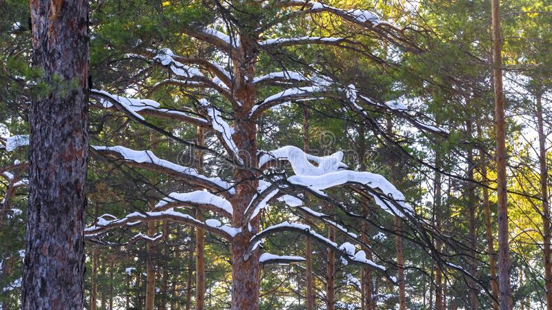 Thick Snow Cover On Pine Tree Branches In The Forest On A Sunny Winter Day. stock photos