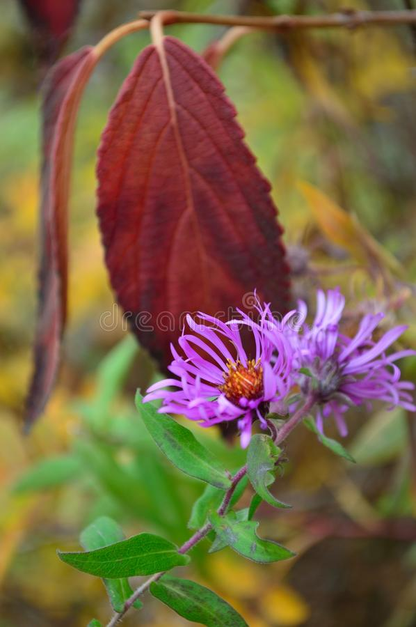 Download Thick Stem Purple Aster Flowers Stock Photo - Image of blossoms, daytime: 103639432