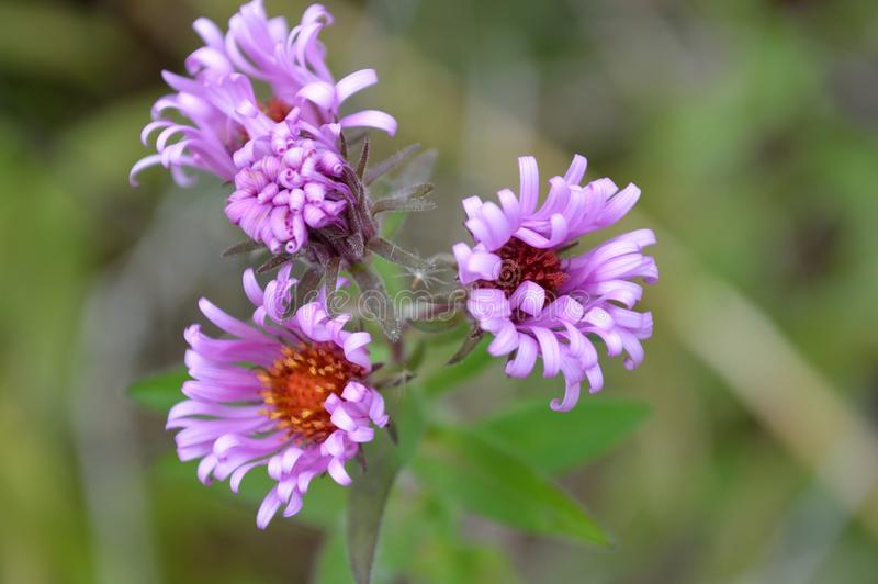 Thick stem purple aster flowers stock photo image of orange download thick stem purple aster flowers stock photo image of orange integrifolia 103639574 mightylinksfo