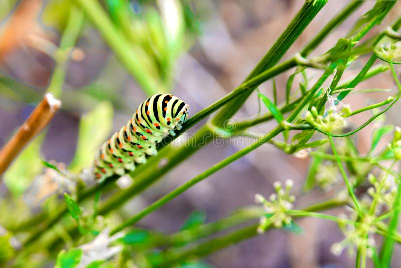 A thick striped and multicolored caterpillar crawls along the foliage in the reserve royalty free stock photography
