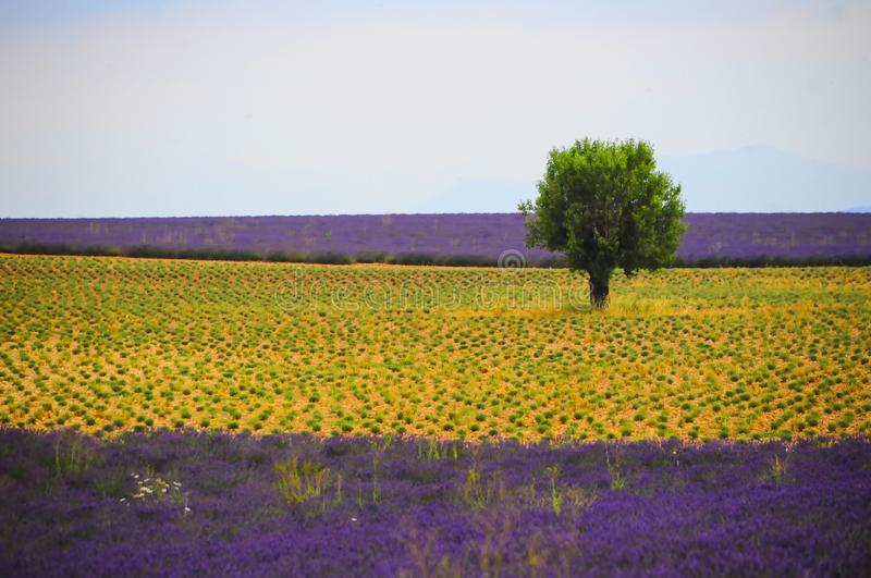 Thick tree with green leaves in a field with yellow and purple flowers under the clear sky. A thick tree with green leaves in a field with yellow and purple stock image