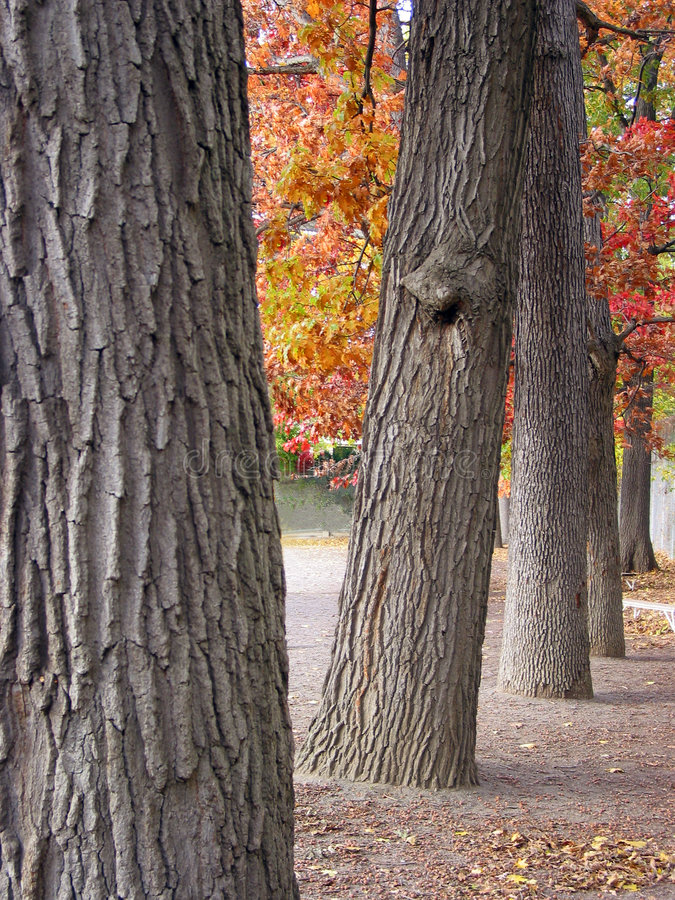 Download Thick tree trunks in a row stock image. Image of park, nature - 322647