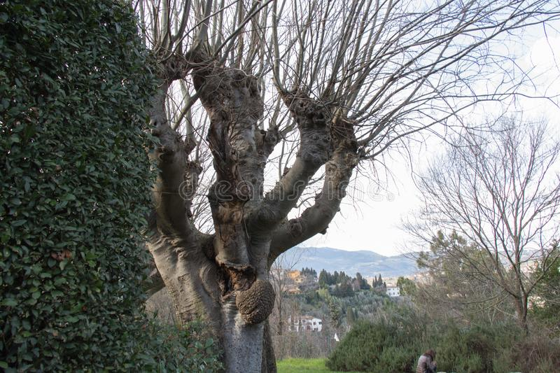 A thick trunk tree without leaves in Fiesole, Tuscany, Italy stock photos
