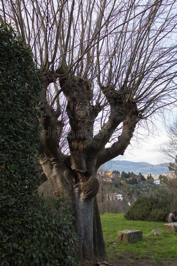 A thick trunk tree without leaves in Fiesole, Tuscany, Italy royalty free stock photography
