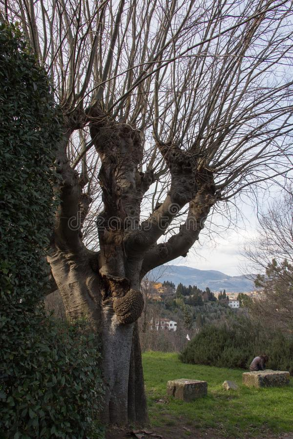 A thick trunk tree without leaves in Fiesole, Tuscany, Italy royalty free stock images