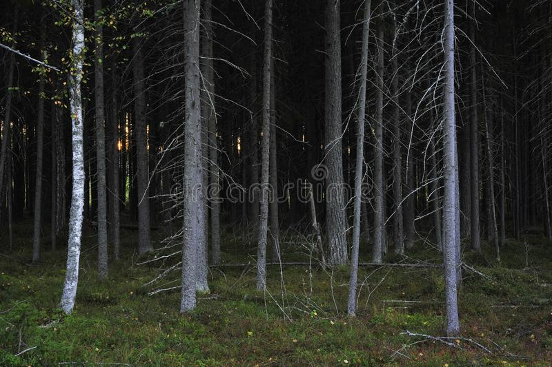 A thicket. Coniferous fir thicket in twilight. After Sunset stock images