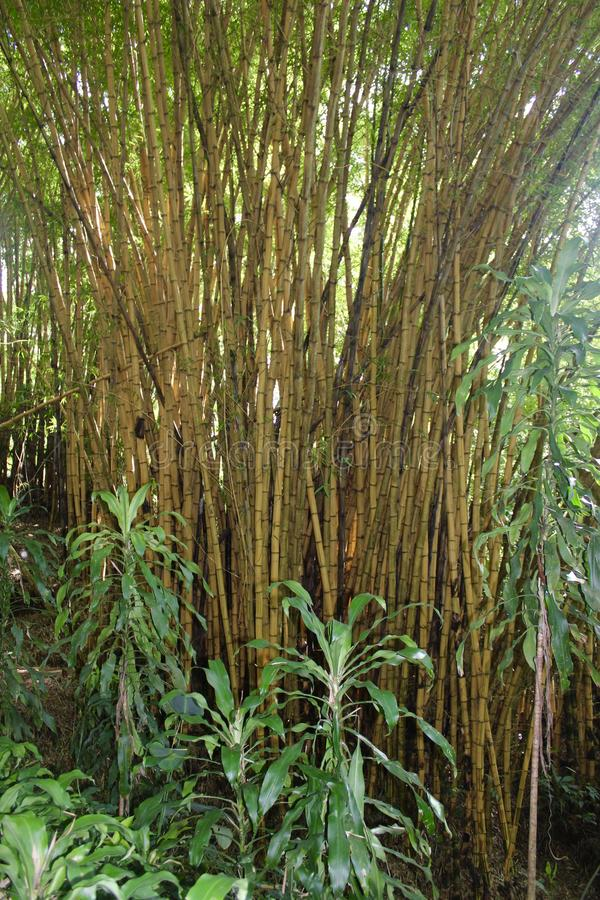 Bamboo Thicket in Costa Rica. Thicket of giant bamboo trees in rain forest near San stock photo