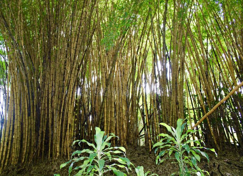 Bamboo Thicket in Costa Rica. Thicket of giant bamboo trees in rain forest near San stock images