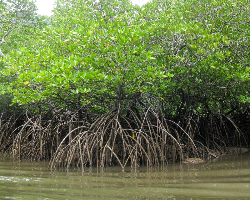 Thicket of green mangrove trees. With their roots in the muddy water, UNESCO listed Langkawi rain forests geopark , Malaysia stock images