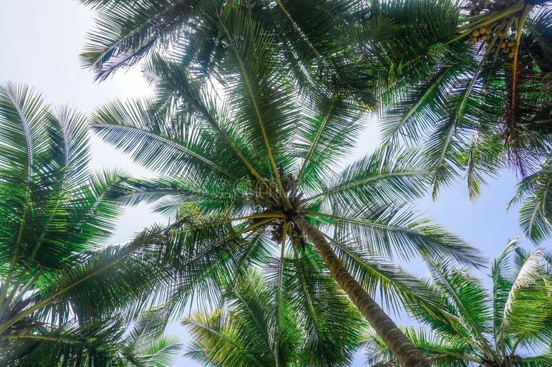 Thicket of green palm trees. Gokarna village. Karnataka state, India royalty free stock photos
