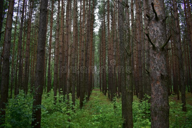 In the thicket of slender rows of trees of a pine forest reaching to the perspective of the forest. Epic beauty and power of the forest stock photos