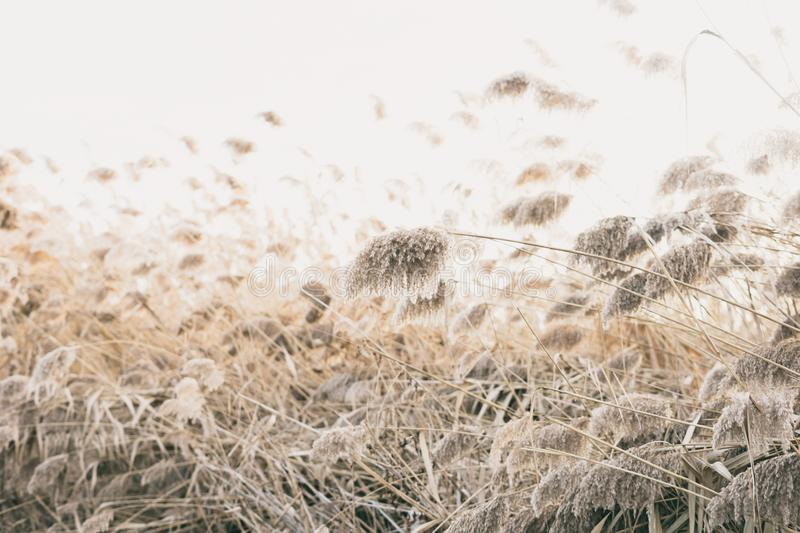 Thicket of reeds. Thicket of yellow and dry reeds royalty free stock image