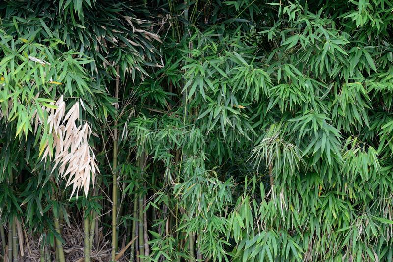 Thickets of bamboo close-up. Image of thickets of bamboo close-up stock image