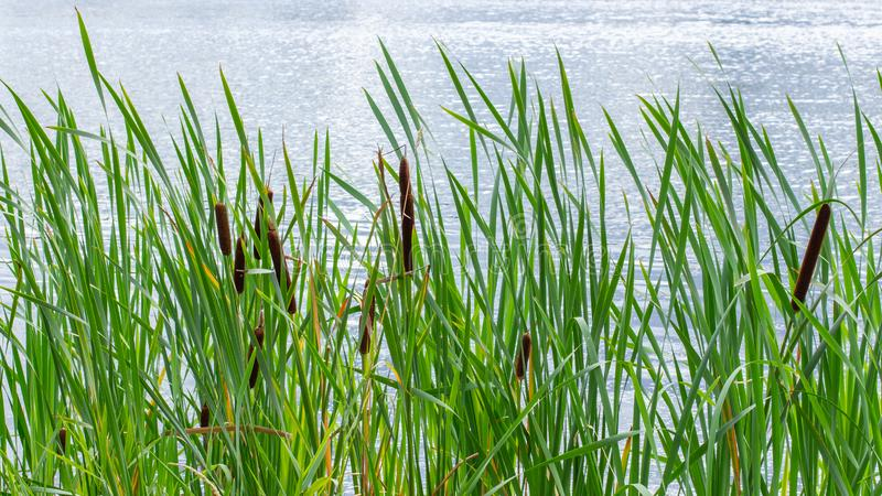Thickets of cattail in a pond, background backdrop nature. Green bulrush leaves, ripe brown cob of cattail stock images