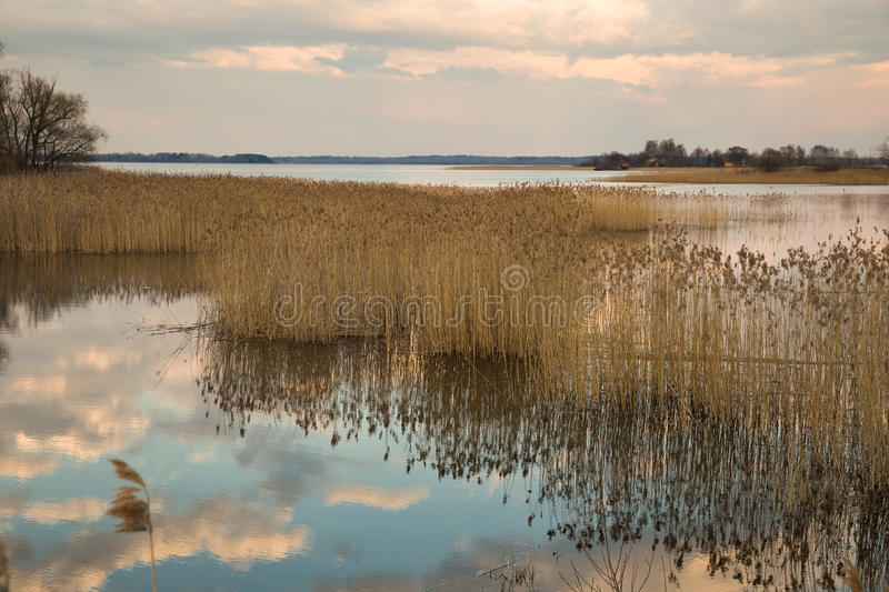 Thickets of dry reeds. Lake Seliger in the spring. Thickets of dry reeds along the shore stock photo