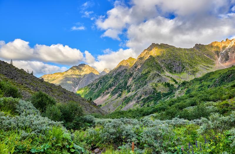 Thickets of dwarf alders in valley. Of mountain stream. Alpine tundra in Siberia. East Sayan. Russia stock images