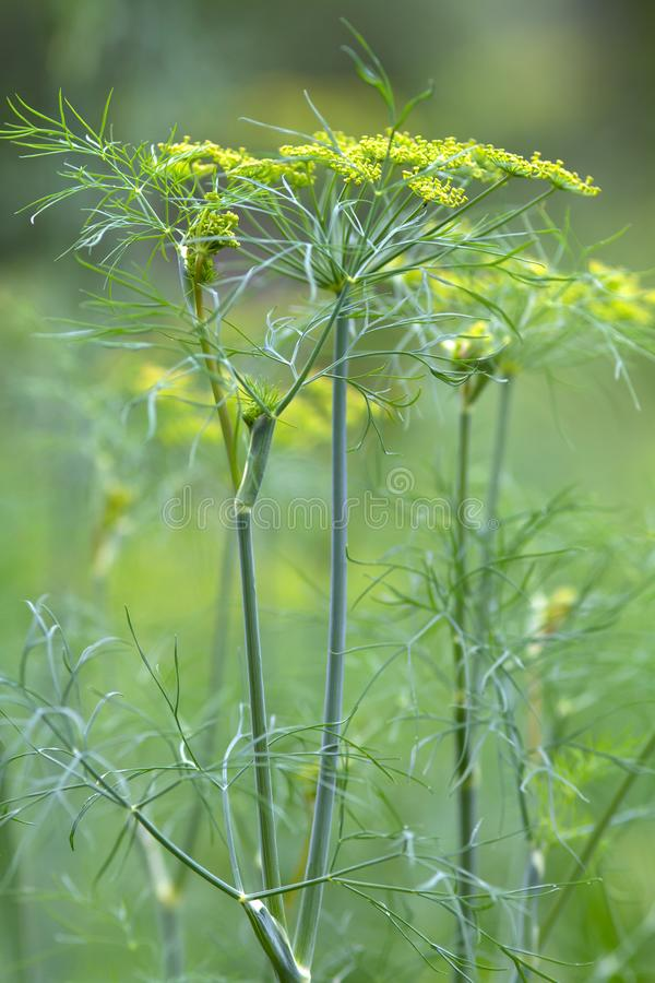 Thickets of flowering dill. In the garden on blurred background, closeup stock photos