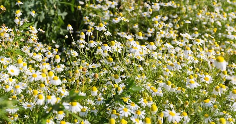 Thickets of flowering wild chamomile on the meadow stock photo