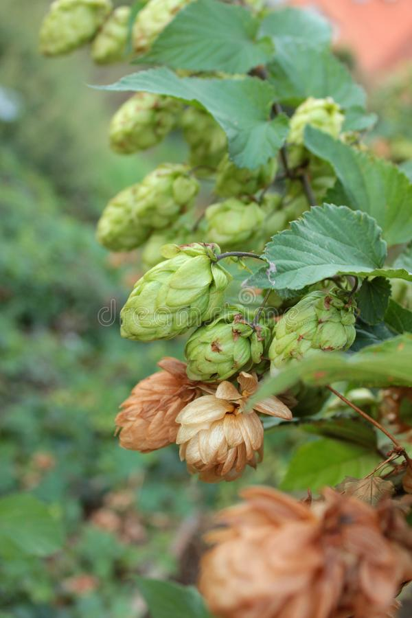 Thickets of green hops royalty free stock photo