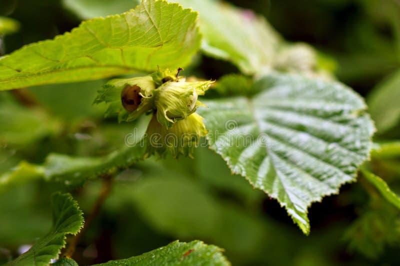 Hazel nut. Thickets of hazelnut, a shrub hazel stock images