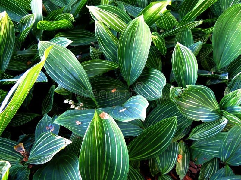 Download Thickets Lily May (Convallaria Majalis) Stock Image - Image: 31553757