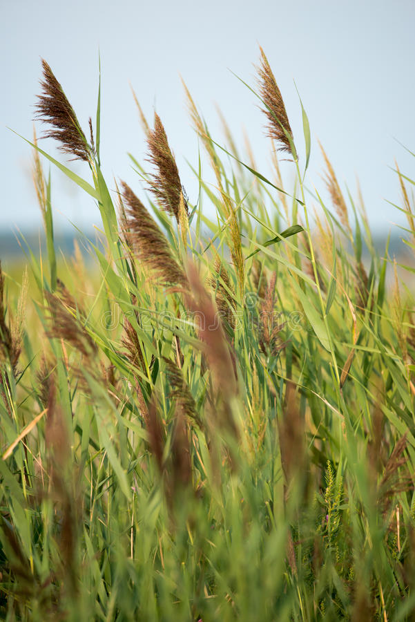 Thickets of reeds on Maryland Eastern Shore near Rock Hall, MD royalty free stock images