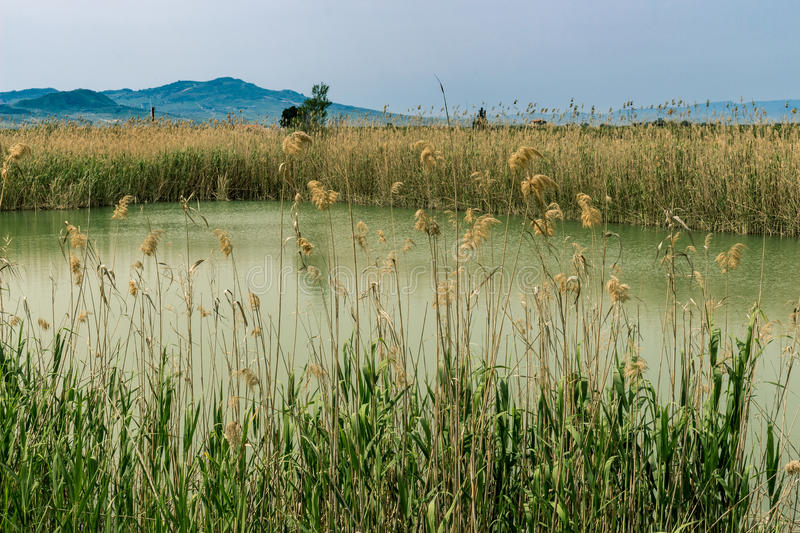 Thickets of reeds. On the pond royalty free stock images